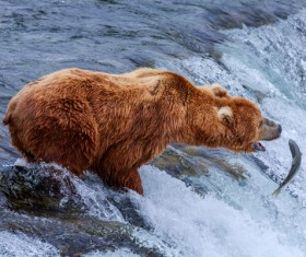 Fishing bear Stock Photo 04