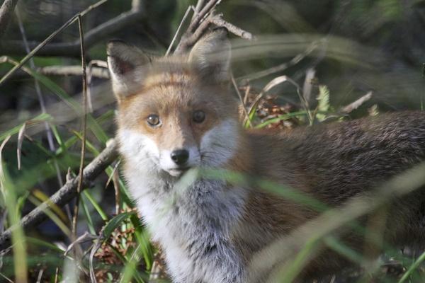 Jungle Vigilant Fox Hd Picture Animal Stock Photo Free