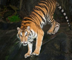 King of beasts of the tiger Stock Photo 01