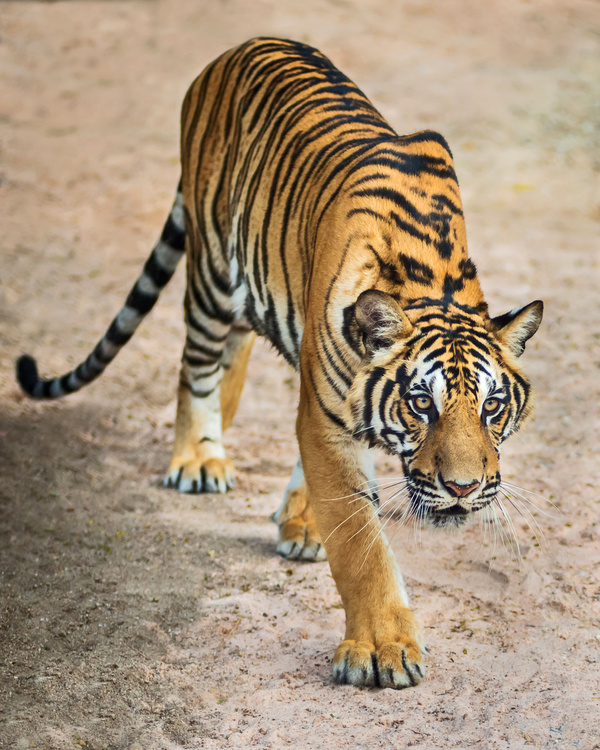 King of beasts of the tiger Stock Photo 02