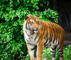 King of beasts of the tiger Stock Photo 03