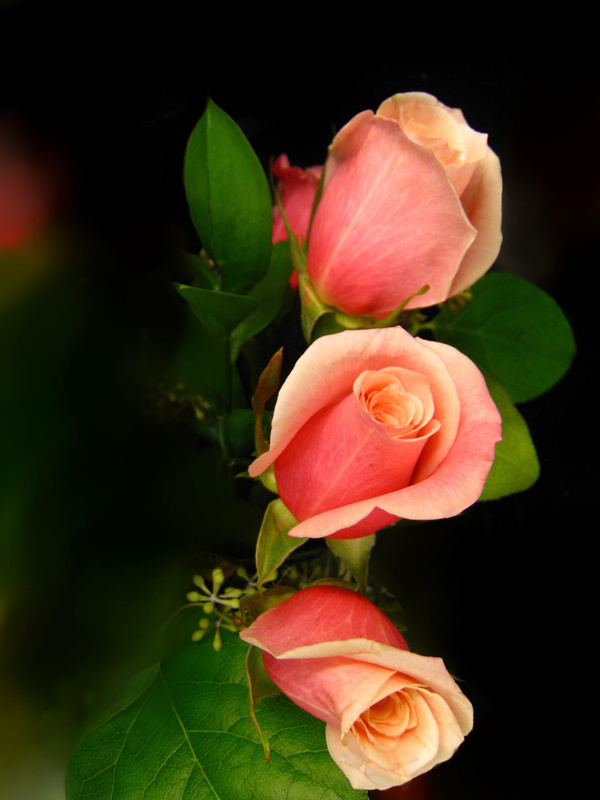 light red roses hd picture free download