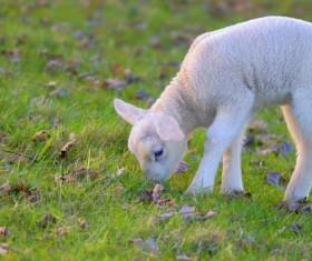 Little sheep eat grass HD picture