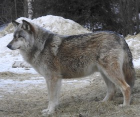 Looking at the distant gray wolf HD picture