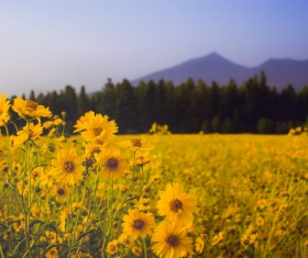 Meadow full of yellow flowers Stock Photo