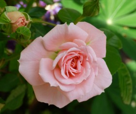 Pale pink roses blooming HD picture