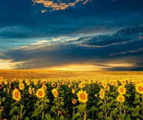 Sunflower plantation under the sky Stock Photo