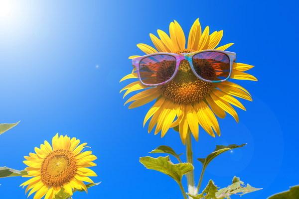 sunflower with sunglasses stock photo