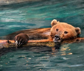 Swimming grizzly bear Stock Photo