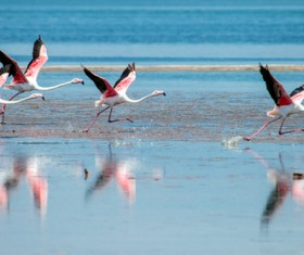 The flamingos in the lake Stock Photo 02