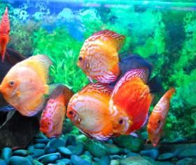 The goldfish in the aquarium Stock Photo