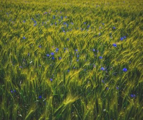 The open wildflowers in the wheat fields Stock Photo