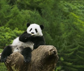 The panda on the tree to eat food Stock Photo