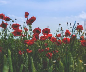 The poppy in the wheat field Stock Photo