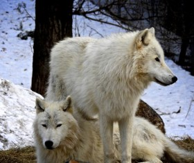 Two white wolves HD picture 01