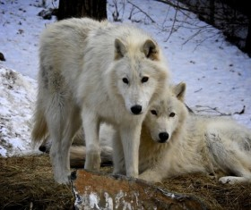 Two white wolves HD picture 02