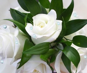 White roses HD picture