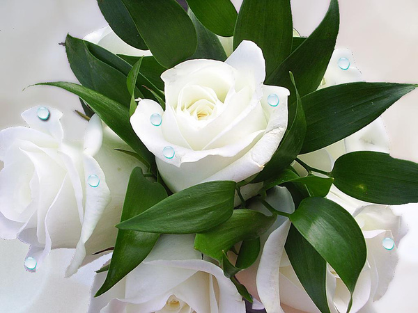 white roses hd picture free download