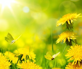 Yellow dandelion and butterfly HD picture