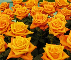 Yellow rose HD picture