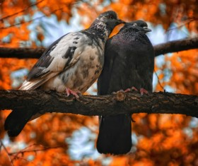 pair of pigeons on a branch Stock Photo