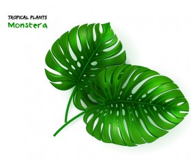 tropical plants monstera leaf vector