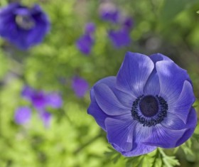 Blue anemone Stock Photo