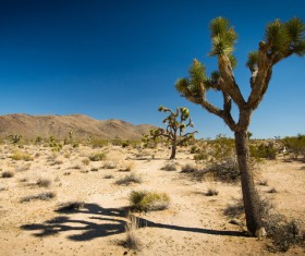 Californias desert landscape natural tree yucca Stock Photo 03