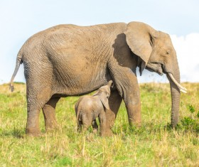 Cute little elephant and maternal elephant Stock Photo 01