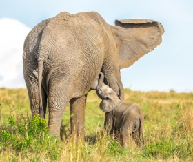 Cute little elephant and maternal elephant Stock Photo 03