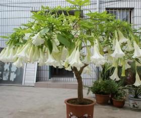 Datura flowers Stock Photo