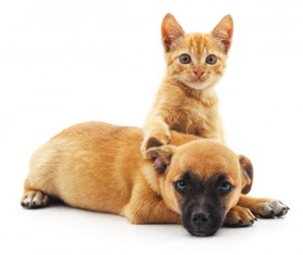 Domineering kitten and puppy lying on the floor HD picture