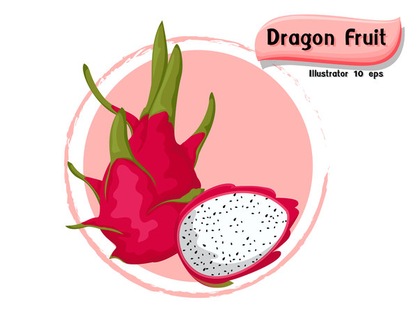Dragon fruit illustration vector