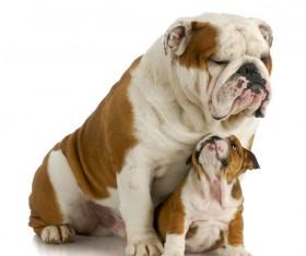 Female bulldog and cubs Stock Photo 07