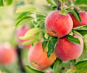 Fruit trees on the red glowing apples HD picture