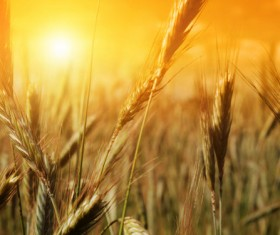Golden wheat HD picture