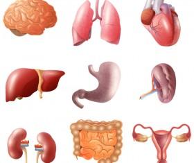 Human visceral organs illustration vectors set 02