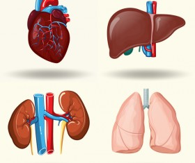 Human visceral organs illustration vectors set 03