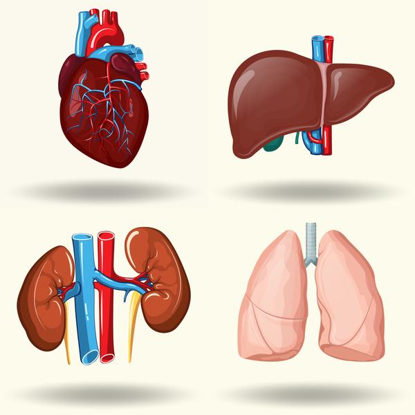 Human visceral organs illustration vectors set 03