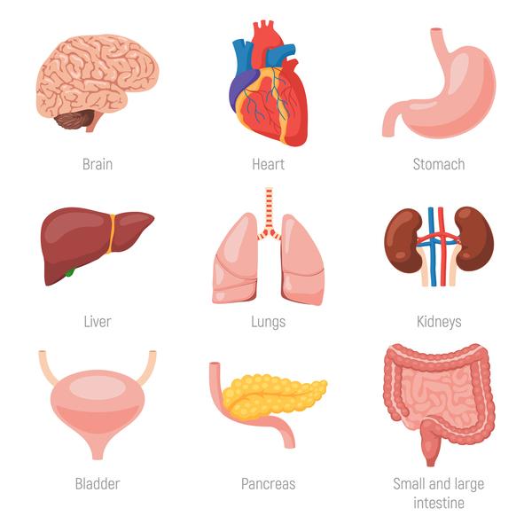 Human Visceral Organs Illustration Vectors Set 04 Free Download