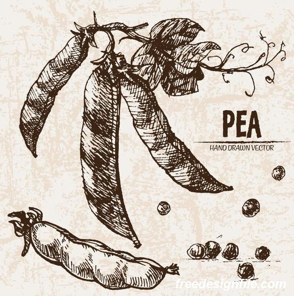 Pea hand drawing retor vector 02