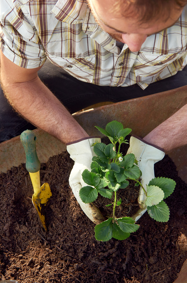Planting strawberry seedlings HD picture