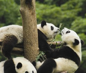 Play the giant panda playing Stock Photo
