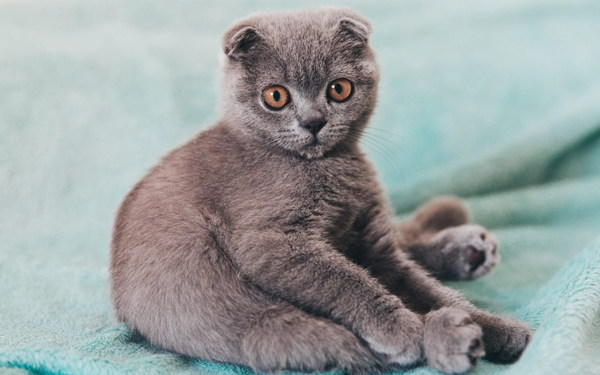Purebred gray fold cat Stock Photo
