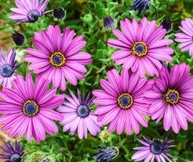 Purple African Chrysanthemum Stock Photo