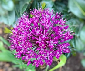 Purple onion flowers Stock Photo