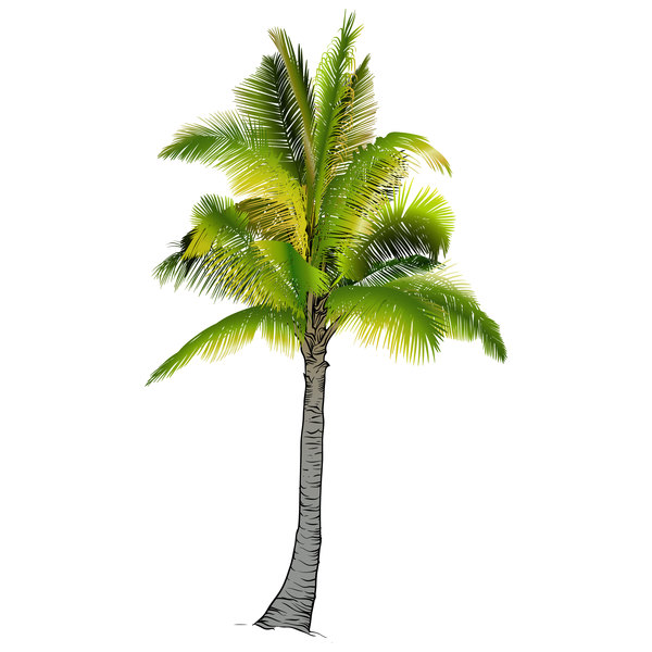 Realistic palm tree illustration vectors 05