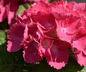 Red hydrangea flower Stock Photo