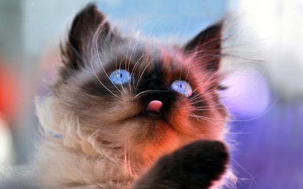 Siamese gem cat Stock Photo