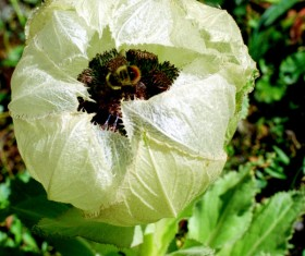 Snow lotus Stock Photo